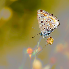 DSE_8100- (alaing40_photos) Tags: papillon insecte argusbleu