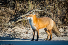 Red Fox at IBSP - 12 (RGL_Photography) Tags: us newjersey unitedstates wildlife fox jerseyshore oceancounty mothernature ibsp redfox vulpesvulpes carnivora islandbeachstatepark berkeleytownship barnegatpeninsula nikond610 tamronsp150600mmf563divcusd