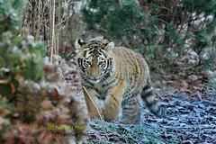 Arila (Noodles Photo) Tags: dasha arila makar pantheratigrisaltaica tierkinder tiger tigercubs zooduisburg groskatze raubtier katze sibirischertiger amurtiger