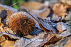 Chestnut forest (Benji Rallye) Tags: chestnut forest forêt chataigne france feuille hiver automne froid gèle color couleur 2016 noël christmas