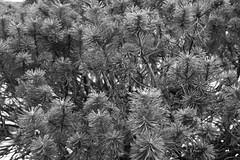 feel the pine (Kevin Kemmerer) Tags: canon sl1 tamron 18250mm tree pine coniferous needles nature forest close up sooc unedited bw blackandwhite monochrome