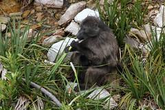 Chacma baboon (jmonhof) Tags: national botanical gardens bärenpavian chacma baboon