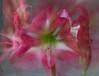 Amaryllis 'gigantic pink' (annabelleny Thank you for your many views and comm) Tags: flower floral blossoms pink amaryllis zoom annjacobson