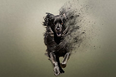 Exploding Dog.jpg (Chatterstone Photography) Tags: dog labradoodle explode hopkins play running