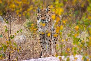 Lynx in Autumn