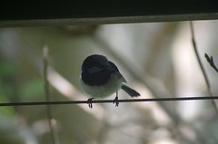 Superb Blue Fairy Wren! (nickant44) Tags: bird blue wren pentax