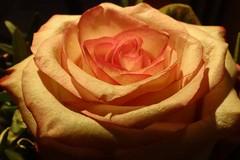 Rose (Gartenzauber) Tags: rosesforeveryone floralfantasy contactgroups macroelsalvador flowerarebeautiful thebestofmimamorsgroups mixofflowers