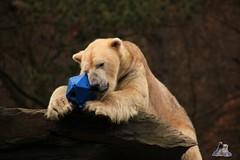 Tierpark Berlin 26.12.2017 066 (Fruehlingsstern) Tags: eisbär polarbear wolodja rothund nashorn stachelschwein tierparkberlin canoneos750 tamron16300