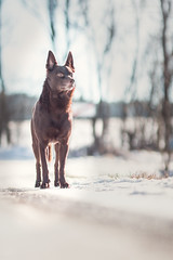 Grimm (andyjateer) Tags: grimm hnävanov psi australian kelpie red dog snow country winter newyear czech canon 100mm f2