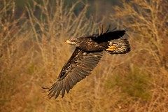 Sunset departure (r) (Blingsister) Tags: americanbaldeagle baldeagle eagleinflight eagle immaturebaldeagleinflight immaturebaldeagle raptorinthewild raptor blingsister melanieleesonwildlifephotography canon canon7dmarkii canonef100400mmf4556lisiiusm southernvancouverisland
