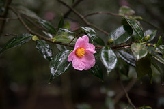 pink camellia in the rain (Danielle_M_Bedics) Tags: nature descansogardens garden tree plant flower green grass forest enchantedforest woods magic magickalforest themagicoftrees rose rosesinthegarden rosegarden rain wet berries berry flowers plants trees leaves foliage brown rosemary blue pink white orange red camellia cameillaforest camelliatree bud flowerbud leaf leafmagic brownleaf branch branches bramble twig trunk treemagic treespirits treetrunk oak oaktree oakforest oakwoodland raining morning morninginthegarden morninglight rainymorning enchantedplaces mountain mountains sky winter solstice