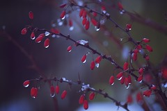 Winter Reds (chris.ph) Tags: winter red tree snow 52weekproject canon6d ef70200mmf4lisusm fortlangley britishcolumbia whatarethese