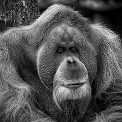 I wish it was Friday ... Monday face (Karsten Gieselmann) Tags: 100300mmf4056 affen em5markii farbe lumixgvario mzuiko microfourthirds monochrome olympus orangutan schwarz schwarzweis tiergartenzoo weis bw black blackwhite color kgiesel m43 mft monkey mono sw white zoo