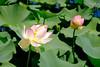 Lotus (frenkel.ilia) Tags: flowersplants lotus royalbotanicalgardens flower green melbourne victoria australia au
