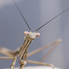 PREYING MANTIS (16th man) Tags: toowoomba westbrook qld queensland australia mantis preyingmantis macro canon eos eos5dmkiv insect