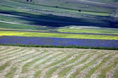 _UM14720nsR (Foto Massimo Lazzari) Tags: fioritura lenticchie papaveri fiordaliso fiori