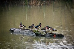 Wood ducks (JSB PHOTOGRAPHS) Tags: jsb3517 woodduck woodducks deltaponds eugeneoregon nikon d7100 nikon200500mmafsgf56evr 200500mm log water