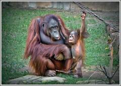 One day, you will look like me babe.!!! (ro-co (Back)) Tags: fz200 panasonic bioparkspain fuengirola zoo orangutan