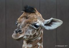 Nog een koppie van een pasgeboren  Giraffe (ditmaliepaard) Tags: giraffe safaripark beeksebergen hilvarenbeek geboren pasgeboren explore283 ngc