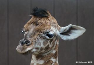 Nog een koppie van een pasgeboren  Giraffe