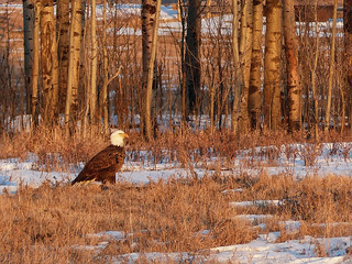Bald Eagle in late afternoon sun