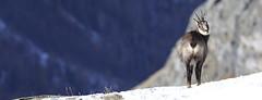 Camosci13 (Lunghefocali.snc) Tags: camoscio rupicaprarupicapra dolomiti valdifiemme trentino altamontagna biancoenero wildlife nature