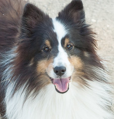 TBT - Diesel 2012/09/03 (wpgroy) Tags: shetlandsheepdog sheltie dog love tbt throwbackthursday