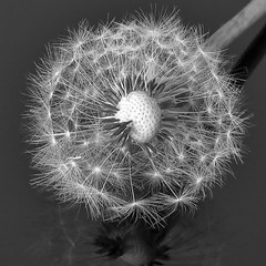 Dandelion3 (macduff312) Tags: bw black white canon weed seeds dandelion summer outside nature