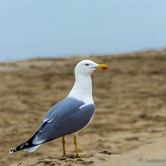 Mouette, Gabian, Gavian - Seagull - (Shoot Enraw) Tags: portlanouvelle plage poselongue 18020000mmf3556 aude brume phare