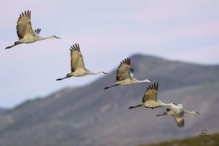 A Construction of Sandhill Cranes