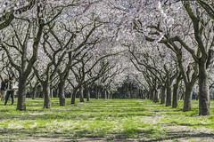 Preludio primaveral. La floración de los almendros (ninestad) Tags: