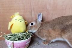ICHIGO san 615 (Ichigo Miyama) Tags: いちごさん。うさぎ。 rabbit bunny netherlanddwarf brown ichigo ネザーランドドワーフ ペット いちご うさぎ