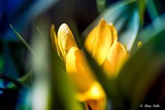 Colori di Primavera (Isolasperduta) Tags: garden giardino flower flowers margherita primavera prato fiorito daisy meadow sole sun spring colors aria aperta outdor calore heat canon eos 80d vicino close macro fiore