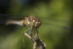 Bruinrode heidelibel - Common darter (aaronmeijer2) Tags: macro animal canon insect photography eos wildlife bakkum wildlifephotography 450d karpervijver noordhollandsduinreservaat