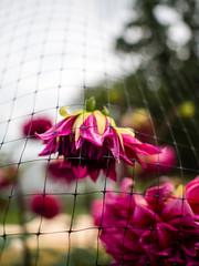Olympus 17mm f1.8 (KaLiMaN BoKeH) Tags: flower 35mm dof bokeh olympus olympuspen wideanglelens m43 35mmlens mirrorless microfourthirds olympusep5 olympus17mmf18