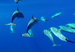 Underwater dolphins bow riding (Sallyrango) Tags: blue underwater indianocean dolphins maldives liveaboard gopro bowriding dolphinsswimming