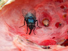 Fly on a water mellon (Sharon B Mott) Tags: nature fly wildlife insects britishwildlife watermellon