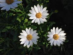 Daisies Three_3570 (Rikx) Tags: white plant flower colour green leaves yellow daisies garden petals spring explore daisy adelaide flowerpot southaustralia 3f fff potplant