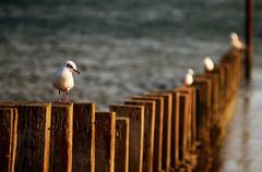 Gulls (nic_r) Tags: seagulls bird beach birds seagull gull gulls portobello groyne