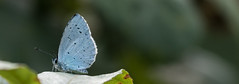 Holly Blue.-4279 Explored (WendyCoops224) Tags: blue canon eos holly explore 70d explored 100400mml oliveswood ©wendycooper localbirdswildlifespringwatch