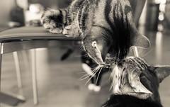 Rubbing along (Tracey Rennie) Tags: bw black monochrome cat kisses molly voyeur cooper stelios noserub itllallendintears littledoglaughednoiret