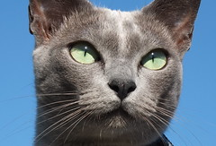 Blue Burmese in the sun (Jane Desforges) Tags: blue sky green female cat outside freedom eyes air scout fresh whiskers burmese