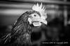 2015_10_12_Krust_0012.jpg (Christian.Patrick) Tags: alsace production poule ferme lieux oeuf hautrhin krust eteimbes fermedeloréedubois