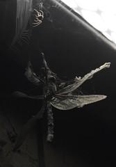 life and death in the subway - orb web spider and dragonfly (willjatkins) Tags: macro spider dragonflies dragonfly spiders web arachnid urbanwildlife arachnids britishwildlife araneusdiadematus odonata hemelhempstead aeshnacyanea spiderwithprey aeshna sigma105mm orbwebspider ukwildlife britishspider britishspiders spiderandweb macrowildlife insectinweb hertfordshirewildlife ukspiders urbanspiders ukarachnids nikond7100 hemelhempsteadwildlife