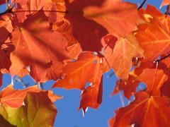 ode to fall  Explored 10/08/15 (saudades1000) Tags: autumn folhas leaves newengland outono shadesofautumn fallinnewengland