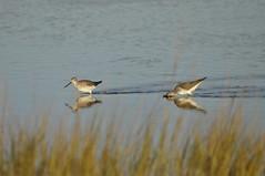 _DSC0407 (Putneypics) Tags: autumn bird capecod tringa marsh migration falmouth tidal hunt wading wetland forage yellowlegs tringamelanoleuca greateryellowlegs sippewisset putneypics