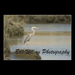 Great Blue Heron (wildlifephotonj) Tags: bird heron nature birds wildlife greatblueheron herons naturephotography wadingbirds naturephotos wildlifephotography wildlifephotos natureprints wildlifephotographynj naturephotographynj