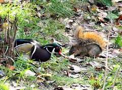 Wood duck with squirrel. (EcoSnake) Tags: birds squirrels wildlife ducks waterfowl rodents naturecenter woodducks easternfoxsquirrel idahofishandgame