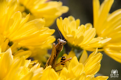 The Mantis's lunchtime (andrea.prave) Tags: flowers food flores nature fleur yellow jaune bug mantis insect vespa wasp flor natura lunchtime amarillo gelb giallo fiori   insekt cibo mantide insetto insecte insetti pranzo insecto       mantidereligiosa   eli