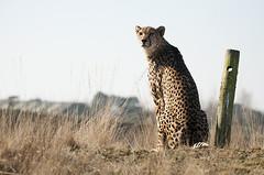 Acinonyx jubatus j. - South African Cheetah (Going to the Zoo with Trebaruna) Tags: netherlands animal zoo safari safaripark zooanimal hilvarenbeek safariparkbeeksebergen 2013 safaribeeksebergen 07042013 safarihilvarenbeek safariparkhilvarenbeek